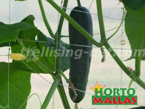 cucumber crop using the hortomallas for support