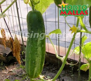 cucumber plant with hortomallas net