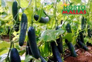 cucumber cropfield using support net