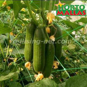 cucumber crops using a support net