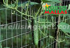 cucumber crops in vertical support system