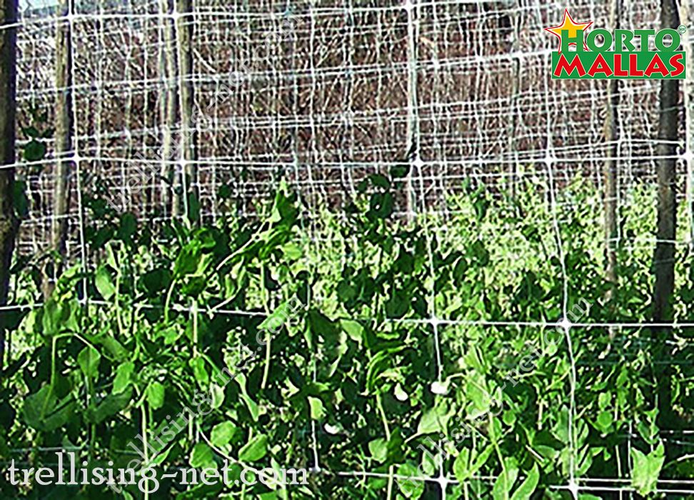 trellis net tutoring to the beans plant.
