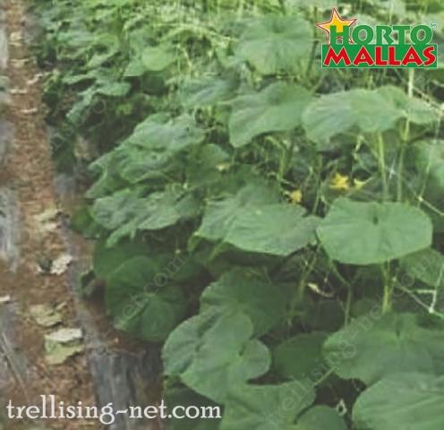 trellis net tutoring to cucumber crops.