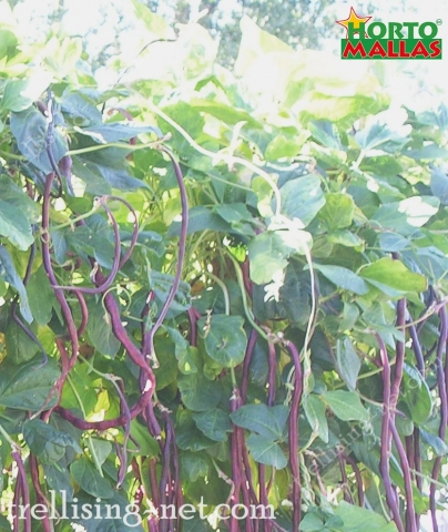 long beans plants using the trellis net for the support and trellis.
